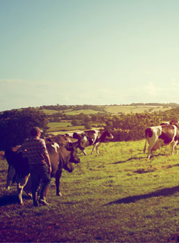 Langford Organic Beef - The Herd out in the fields